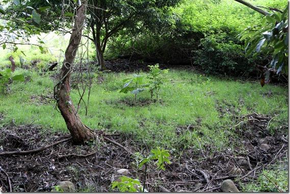 Baby Stinging Nettle Tree