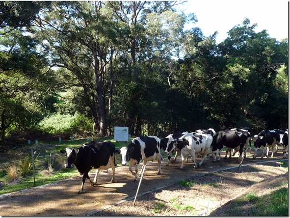 Cows on Picasso Laneway  0006