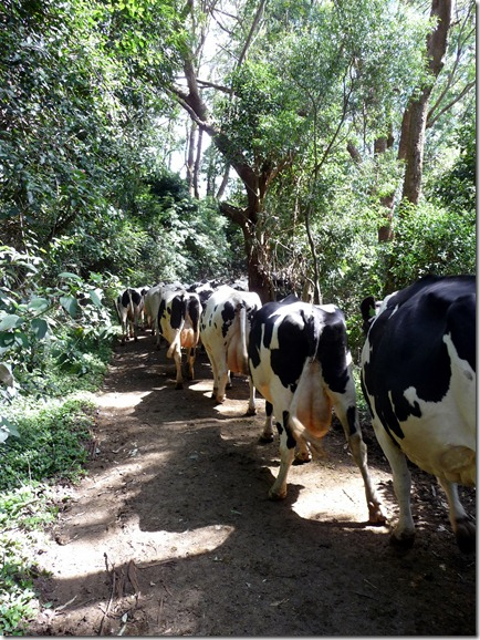 Cows Walking thru rainforest