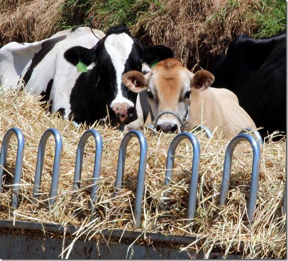 Eileen on hay feeder