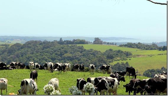 The milking herd