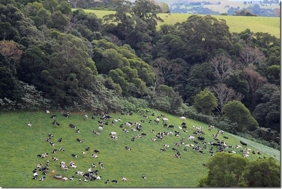Cows in Sproules Gully
