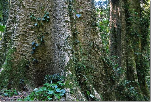 Giant Stinging Tree