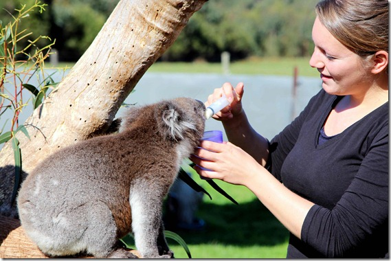 Feeding the Koalas 2