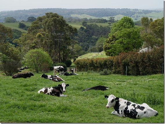 Calves in front paddock