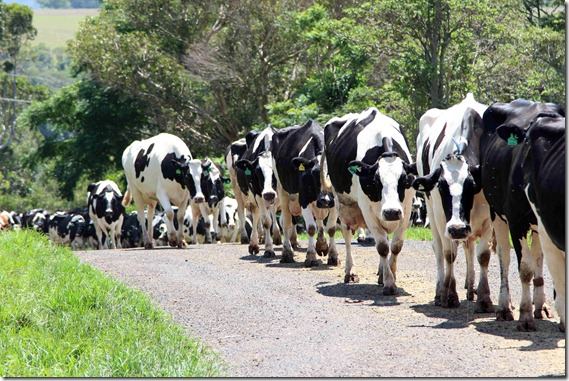 Clover Hill stroll to the midday milking