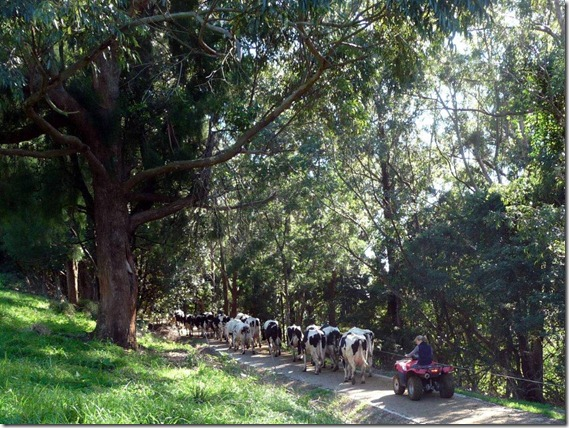 Cows on Picasso Laneway Marie Pier  0001