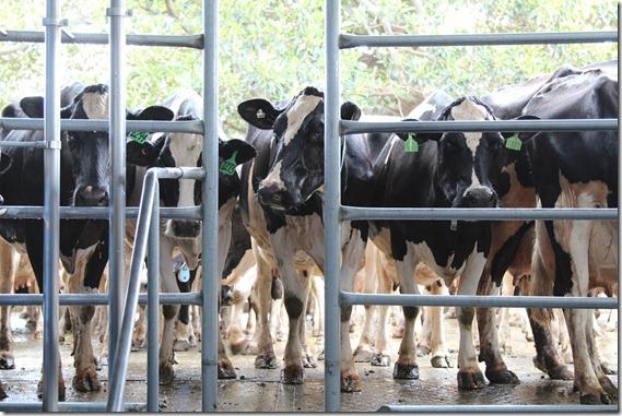 Cows under sprinker