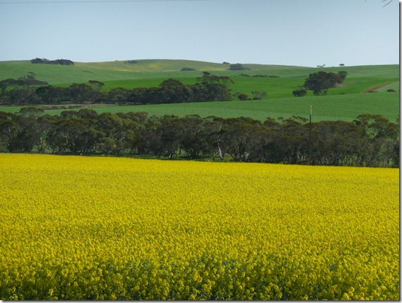 Green & Gold Canola