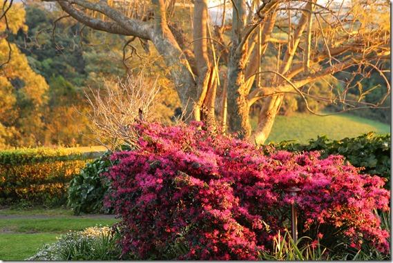Pink Bush IMG_5172