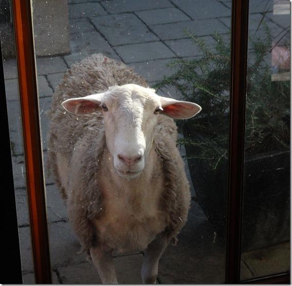 Clover Hill  Sheep  (17)