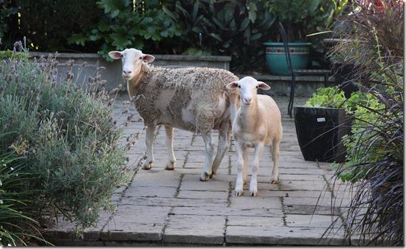 Clover Hill  Sheep (25)