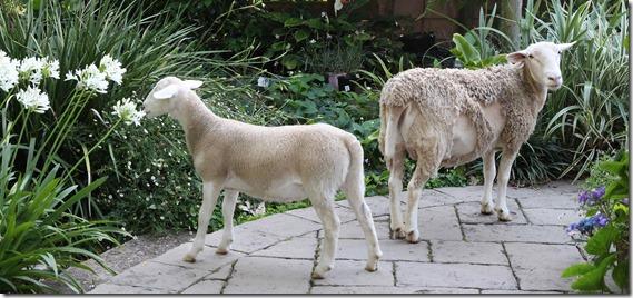 Clover Hill  sheep (30)