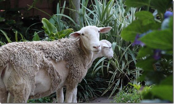 Clover Hill Sheep  (32)