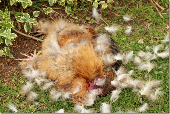 Dead Rooster Killed by Fox