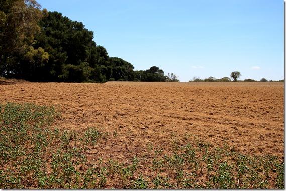 Buckwheat paddock