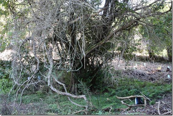 Illawarra Socket Wood  (1)