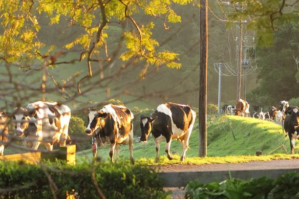 Cows walking home Clover Hill