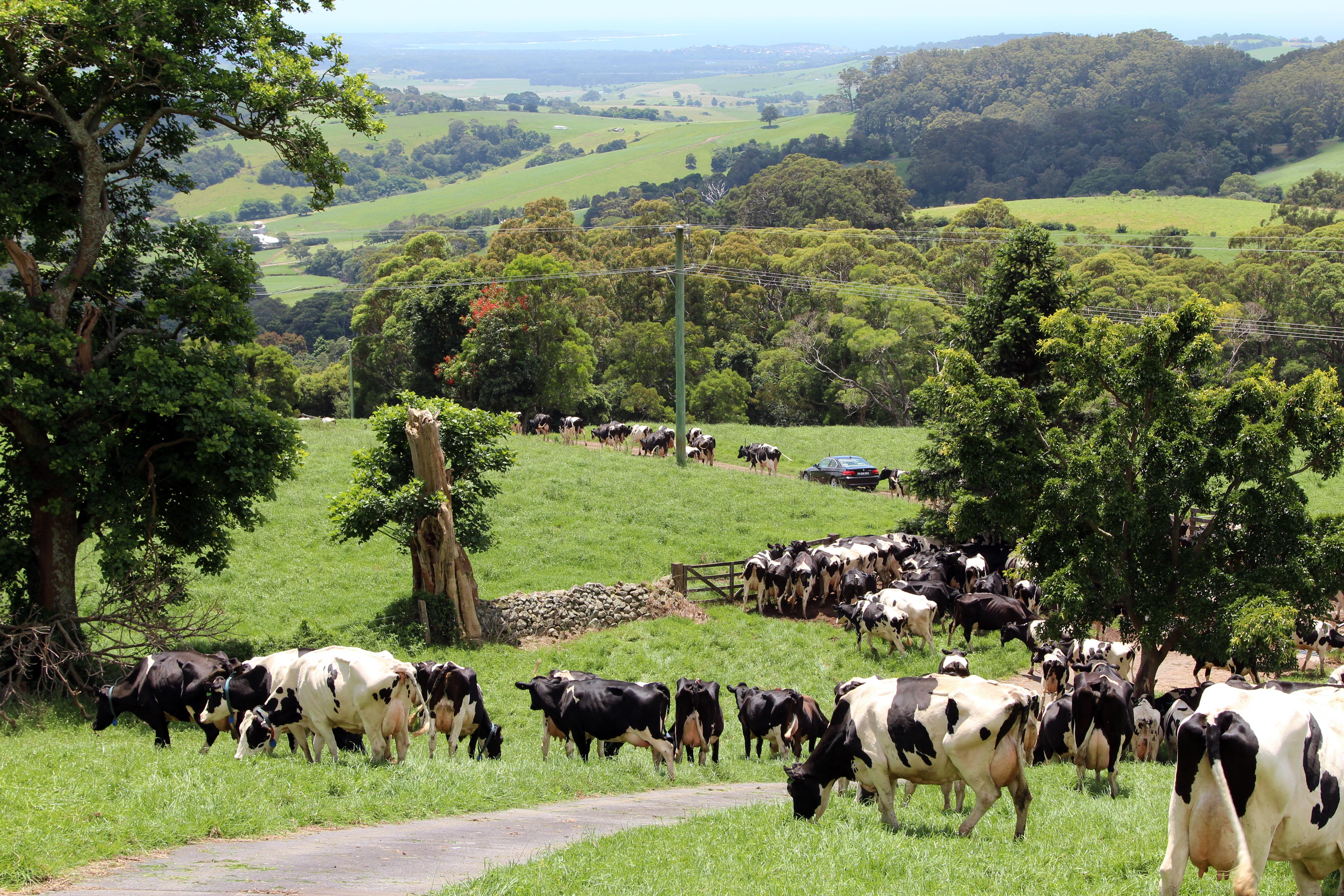 Clover Hill Cows.jpg